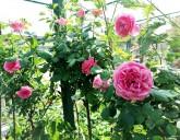 Прекрасные розы в Садовом Центре ждут своих обладателей
