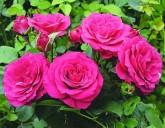 Поступление посадочного материала в упаковке (розы и плодовые)!