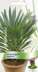 Пахиподиум Ламера 3шт. (комн.раст.)  (Поиск)