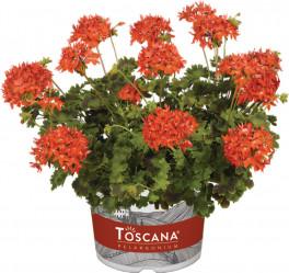 Пеларгония зональная Toscana Dolce Vita Red (Mylena) (темно-красн.,махр.) (P9/12) Хит