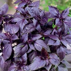 Базилик Арарат (фиолетовый)  0,25гр. (авт.серия)  (Поиск)