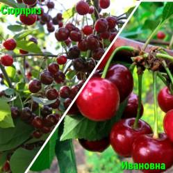 Дерево-Сад  Вишня 2 сорта (2-3 летка) Ивановка(дюк)/Сюрприз(дюк) П./21